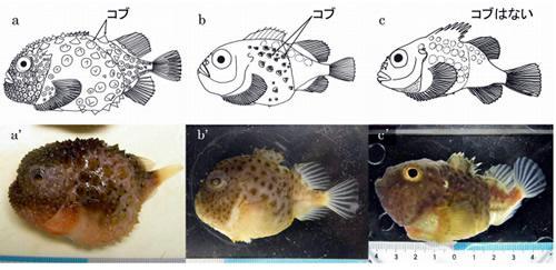 ダンゴウオ科魚類 3種のスケッチ(a〜c)と写真(a'〜c')。 a、a')コンペイトウ(全身が密にコブに覆われ、第1背鰭は埋没)。b、b')コブフウセンウオ(頭部にコブがなく、体の側面の一部にコブがある。皮膚は滑らか)。c、c')ナメフウセンウオ(コブはなく、皮膚は滑らか)。 スケッチは Ueno(1970)より改変。写真は野外採集サンプルを撮影。