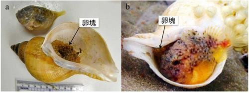 a)巻貝の殻と卵塊及び卵を保護していたコブフウセンウオ。巻貝の中にはびっしりと卵塊が詰まっている。b)水槽内で卵の世話をするコブフウセンウオ。殻の入り口付近に吸盤で張り付き、口や鰭を使って卵に新鮮な水を送っている。