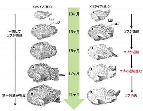 ふ化後10〜21カ月のAタイプ(雌)とBタイプ(雄)の形態変化。ふ化後 10カ月ごろまでは両タイプの違いは見られない。Aタイプでは一貫してコブが発達し、第1背鰭 は低くなり、コンペイトウと同定される。Bタイプではふ化後13 カ月ごろからコブの退縮が始まり、まず頭部からコブが消失し、コブフウセンウオと同定される。さらにふ化後 21カ月ごろには完全にコブが消え、ナメフウセンウオと同定される。