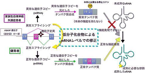 家族性自律神経失調症の発症原因と、新規合成化合物レクタスによるスプライシング正常化で治す仕組みの概略図