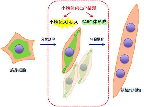 筋分化過程での小胞体内カルシウム枯渇と小胞体ストレス。筋芽細胞が融合する前の段階で小胞体内のカルシウム濃度低下が起こる。それで小胞体ストレスが生じ、細胞内のストレス応答シグナル系が起動する。筋肉形成への必要なステップで、カルシウム枯渇は筋分化制御にとって重要なプログラムされた現象であることを示す。