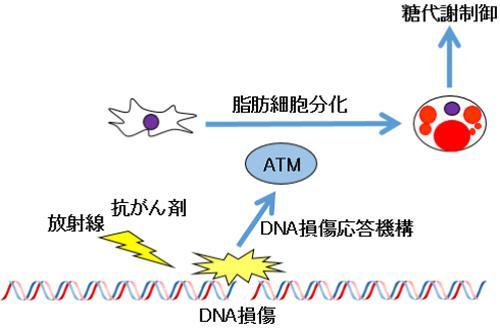 DNA損傷の修復と糖代謝の関係