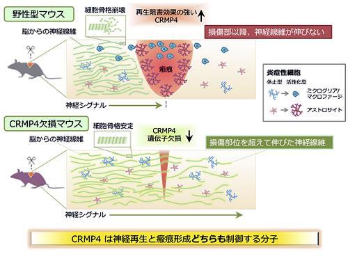 野生型マウスとCRMP4遺伝子欠損マウスの神経再生の比較