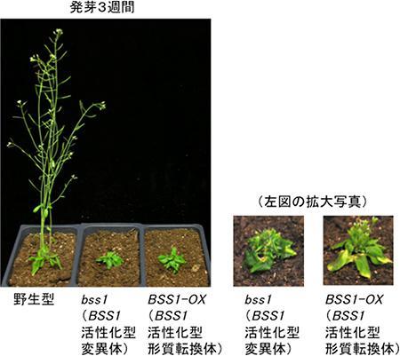 シロイヌナズナの発芽3週後の草丈比較。左端が野生型、中央と右端がBSS1タンパク質の発現が高くて、茎が短くなった変異体と遺伝子組み換え体、それぞれの拡大写真。