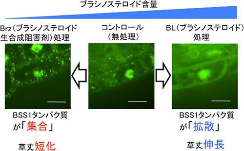 BSS1と緑色蛍光タンパク質の細胞内の顕微鏡写真。ブラシノステロイド欠損(Brz処理)で見られるBSS1の「集合」と、ブラシノステロイド添加(BL処理)で見られるBSS1の「拡散」。