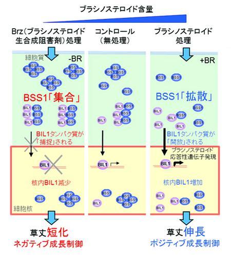 今回の研究でわかったBSS1タンパク質の機能発現の仕組み