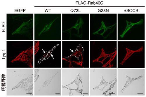 4.1G欠損マウスの視覚検査。マウスの視覚機能を調べるために、明暗のコントラストやしま模様で動体視力を調べた(左)。その結果、野生型に比べて4.1G欠損マウスでは動体視力が低下していた(右)。