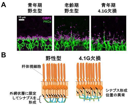 老化と4.1G欠損マウスのシナプス形成位置異常。A.視細胞シナプス(赤紫)と双極細胞(緑)の染色像。