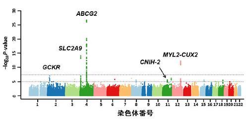 日本人男性の痛風患者のゲノムワイド関連解析で発見された5カ所の痛風関連遺伝子