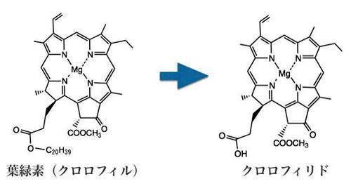 葉緑素(クロロフィル)とクロロフィリドの構造。葉緑素にはフィトール基(C20H39)がついているので、水に溶けにくい。酵素のクロロフィラーゼは葉緑素のフィトール基を加水分解し、水の溶けやすいクロロフィリドを生成する。