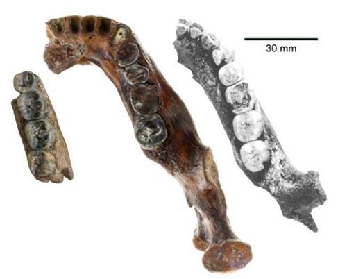 澎湖1号(中央)とジャワ原人(左、約80万年前)と北京原人(右、約75万年前、左右 を反転している)の下顎骨化石。年代の新しい顎が頑丈であることがわかる。