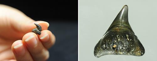 発見されたメガマウスの歯化石