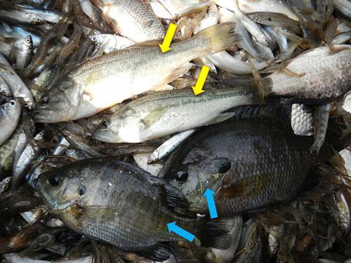 漁獲物に混ざる魚食性外来魚のオオクチバス(黄色矢印)とブルーギル(青色矢印)
