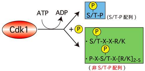 Cdk1による「非S/T-P配列」のリン酸化。Cdk1は通常、ATPをADPに変換させ、その時に遊離するリン酸基(黄丸のP)を基質タンパク質の「S/T-P」配列に転移してリン酸化するが、今回、「非S/T-P」配列もリン酸化することを発見した。