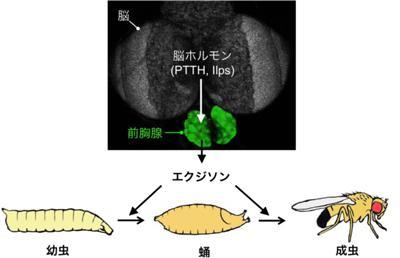 これまでわかっている昆虫変態の制御の枠組み