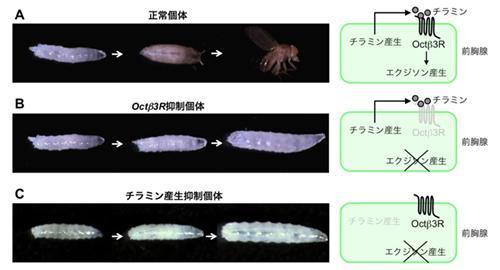 前胸腺のOct?3R とチラミンの産生を抑制したショウジョウバエの表現型。Aが正常、BがOct?3R抑制、Cがチラミン産生抑制