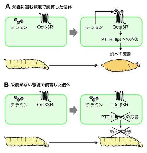 栄養・成長による変態の制御。Aが栄養に富む環境で飼育した場合、Bが栄養不足で成長が不十分な幼虫の場合。