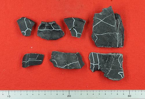 福岡県宮若市の千石峡で発掘されたアドクス・センゴクエンシスの化石