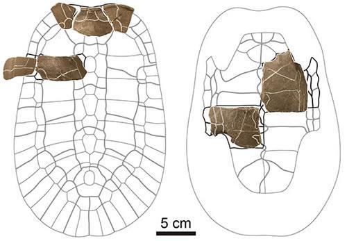 アドクス・センゴクエンシスの甲羅復元図に標本を重ねた図。甲羅の背側(左)と腹側(右)。図の上方向が頭の出る前方になる。