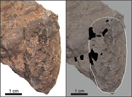 発掘されたヒメウーリサス・ムラカミイ。右は卵の輪郭を白線で、卵殻を黒で描き込んだもの(筑波大学、兵庫県立人と自然の博物館提供)