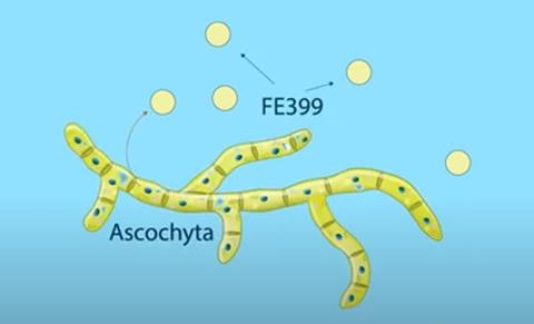 カビの一種「アスコキタ」から得られる化合物FE399の模式図(東京理科大学提供)