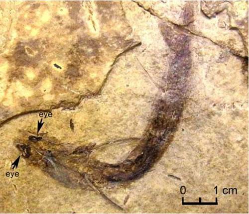 眼が保存された古代魚のアカントーデスの化石(背側方向)