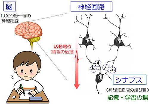 神経細胞はシナプスによって結合し、神経回路を形成