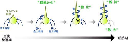 登上線維シナプス回路の生後発達変化