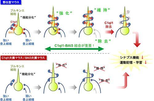 C1ql1-BAI3結合が登上線維シナプス回路を調節し、運動記憶・学習を制御する仕組み