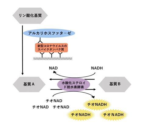 早稲田大学の研究グループが開発した高感度抗原検査法の原理の一部。ELISA法に酵素サイクリング法を組み合わせることで、スパイクの超高感度検出を可能にした (早稲田大学提供)
