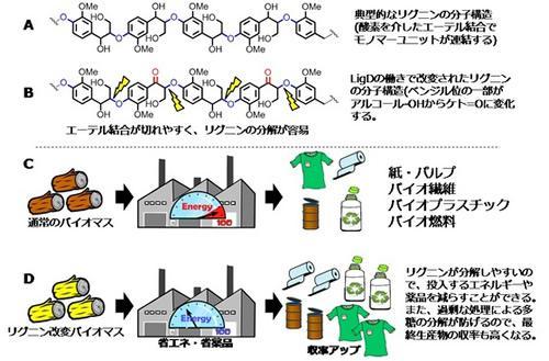 LigD遺伝子の導入によるリグニン構造改変の原理と効果