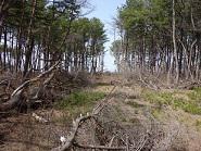 津波により倒木した場所(倒木林)。その両側に残存した林が残る。