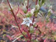 津波のかく乱跡地に生育する絶滅危惧種のイヌセンブリの花