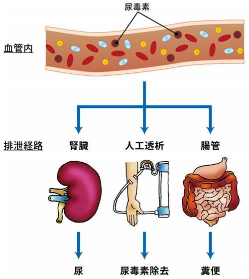 尿毒素の排泄に関わる3つの経路