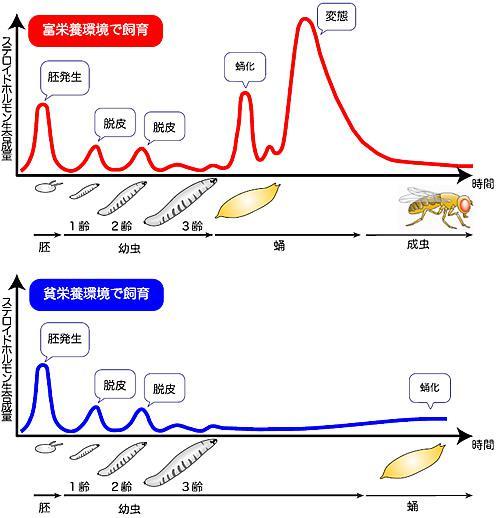 キイロショウジョウバエの発育とエクジステロイド(脱皮ホルモン)生合成量の関係