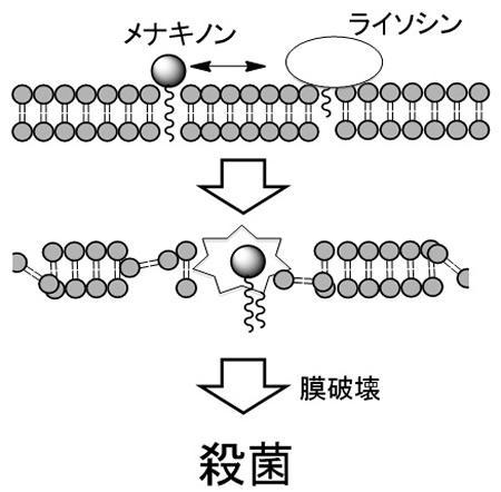 解明されたライソシンEの作用の仕組み