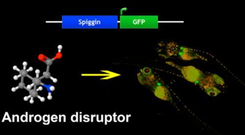トゲウオのオス特有の営巣行動に必要な接着タンパク質(スピギン)の遺伝子発現制御領域をセンサーとして、男性ホルモン量に応答して緑色蛍光タンパク質(GFP)を発現するバイオモニタリングメダカを開発。環境水中の男性ホルモンや抗男性ホルモン作用を示す物質のスクリーニングに使える。