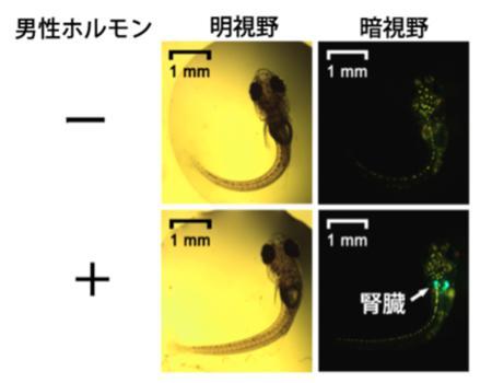今回開発したバイオモニタリングメダカのふ化直後の稚魚に、男性ホルモンの一種を暴露するとGFPの発現が誘導され、腎臓が緑色に光った。この発光は抗男性ホルモン作用を示す農薬に暴露すると、弱まった。