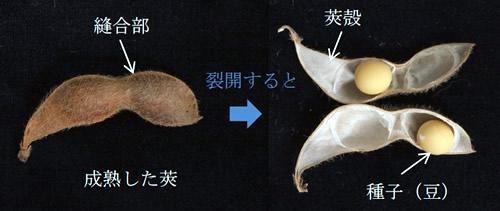 大豆の莢の構造