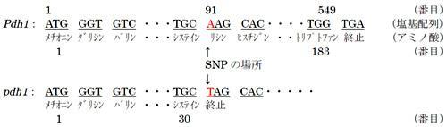大豆の莢の裂莢性に関わる遺伝子とその産物のタンパク質のアミノ酸配列、上が莢をはじけやすくする遺伝子pdh1で、下がはじけにくくする遺伝子Pdh1。
