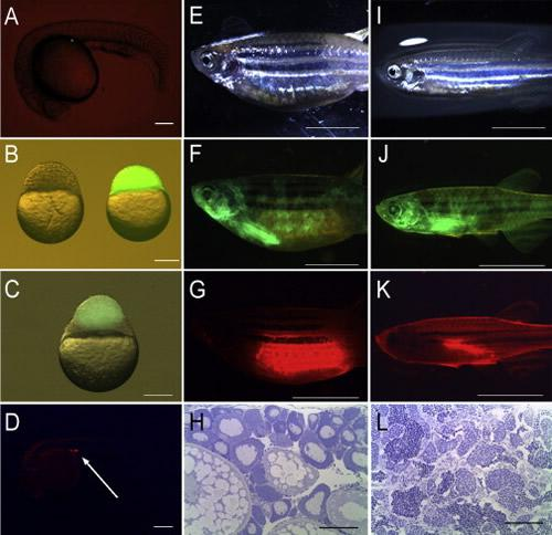 ゼブラフィッシュの写真。BとCは胚、EFGHは雌、Gは生殖細胞、Hは卵巣の顕微鏡写真。IJKLは雄、Kは生殖細胞、Lは精巣の顕微鏡写真。