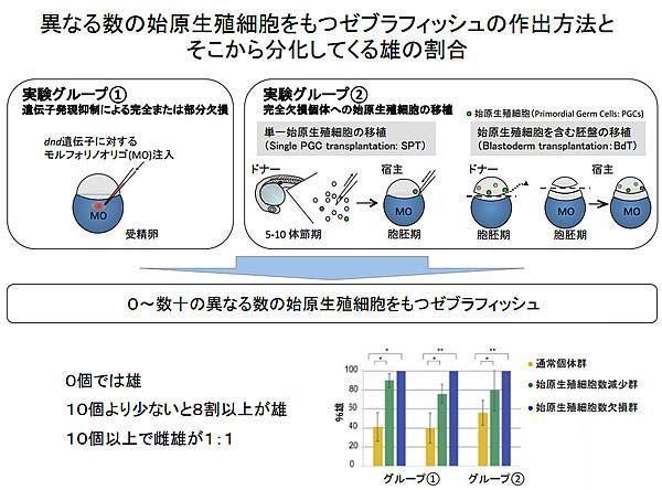 異なる数の始原生殖細胞をもつセブラフィッシュの作出方法と、そこから分化してくる雄の割合