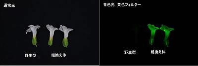 光る花のドライフラワー。通常の光(上)では、野生型も組み換え体も同じように見えるが、青色光を照射して黄色のフィルターを通して観察すると、野生型は見えないのに対して、組み換え体は黄緑色の蛍光が観察できる。