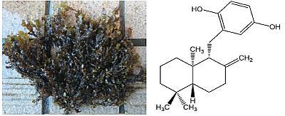 海藻由来のシワヤハズとその成分のゾナロールの構造