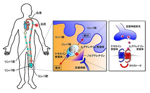 交感神経によるリンパ球の体内動態の制御