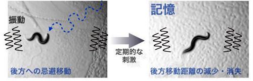 振動という物理的刺激に対する線虫の馴化学習・記憶現象