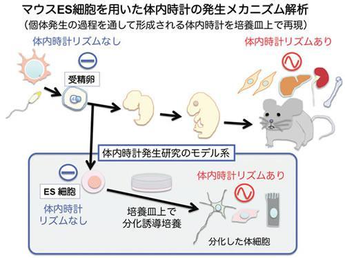 哺乳類での体内時計発生の概要