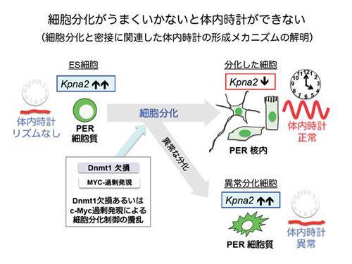 細胞分化制御と密接に関連する体内時計発生の仕組み