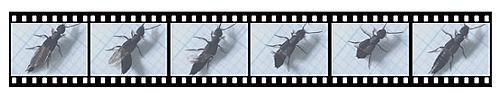 ハネカクシの翅の折り畳み動作。左右の翅を重ねた後で、柔軟な腹部を使って2枚同時に折り畳む。