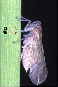 イネの茎から師管液を吸うトビイロウンカ。針状の口(口針)をイネに突き刺し、栄養分に富む師管液を吸汁してイネを枯死させる。